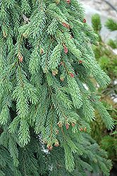 Weeping White Spruce (Picea glauca 'Pendula') at Glasshouse Nursery