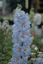Magic Fountains Sky Blue Larkspur (Delphinium 'Magic Fountains Sky Blue') at Glasshouse Nursery