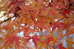 Butterfly Variegated Japanese Maple (Acer palmatum 'Butterfly') at Glasshouse Nursery