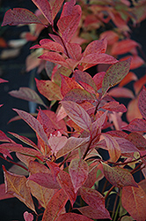 Little Henry® Virginia Sweetspire (Itea virginica 'Sprich') at Glasshouse Nursery
