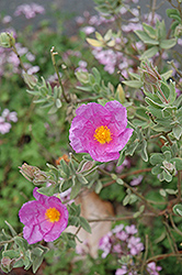 Rockrose (Cistus albidus) at Glasshouse Nursery
