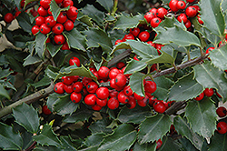 Berri-Magic Meserve Holly (Ilex x meserveae 'Berri-Magic') at Glasshouse Nursery