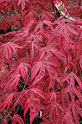 Shirazz Japanese Maple (Acer palmatum 'Gwen's Rose Delight') at Glasshouse Nursery
