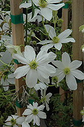 Early Sensation Clematis (Clematis cartmanii 'Early Sensation') at Glasshouse Nursery
