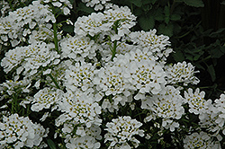 Purity Candytuft (Iberis sempervirens 'Purity') at Glasshouse Nursery