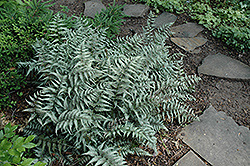 Japanese Painted Fern (Athyrium goeringianum) at Glasshouse Nursery