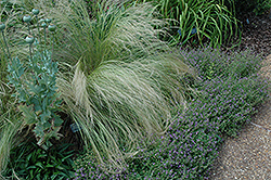 Mexican Feather Grass (Nassella tenuissima) at Glasshouse Nursery