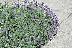 Munstead Lavender (Lavandula angustifolia 'Munstead') at Glasshouse Nursery