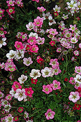 Purple Robe Saxifrage (Saxifraga x arendsii 'Purple Robe') at Glasshouse Nursery