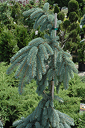 The Blues Colorado Blue Spruce (Picea pungens 'The Blues') at Glasshouse Nursery