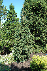 Columnar Norway Spruce (Picea abies 'Cupressina') at Glasshouse Nursery