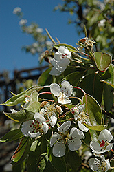 Clapp's Favorite Pear (Pyrus communis 'Clapp's Favorite') at Glasshouse Nursery