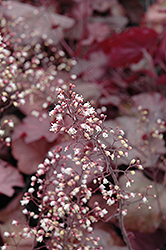 Beaujolais Coral Bells (Heuchera 'Beaujolais') at Glasshouse Nursery
