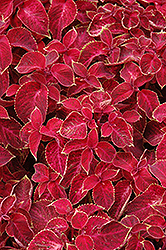 Wizard Velvet Red Coleus (Solenostemon scutellarioides 'Wizard Velvet Red') at Glasshouse Nursery