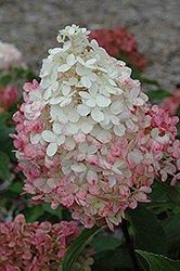 Vanilla Strawberry™ Hydrangea (Hydrangea paniculata 'Renhy') at Glasshouse Nursery