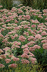 Autumn Joy Stonecrop (Sedum 'Autumn Joy') at Glasshouse Nursery