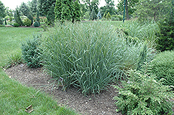 Heavy Metal Blue Switch Grass (Panicum virgatum 'Heavy Metal') at Glasshouse Nursery