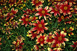 Route 66 Tickseed (Coreopsis verticillata 'Route 66') at Glasshouse Nursery