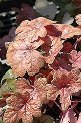 Brass Lantern Foamy Bells (Heucherella 'Brass Lantern') at Glasshouse Nursery