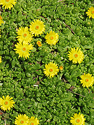 Yellow Ice Plant (Delosperma nubigenum) at Glasshouse Nursery