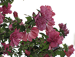Collie Mullins Rose Of Sharon (Hibiscus syriacus 'Collie Mullins') at Glasshouse Nursery
