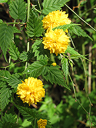 Double Flowered Japanese Kerria (Kerria japonica 'Pleniflora') at Glasshouse Nursery
