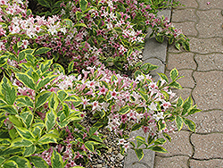 Dwarf Variegated Weigela (Weigela florida 'Nana Variegata') at Glasshouse Nursery