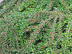 Ground Cotoneaster (Cotoneaster horizontalis) at Glasshouse Nursery