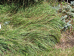 Blue Sedge (Carex flacca) at Glasshouse Nursery