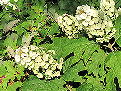 Snow Queen Hydrangea (Hydrangea quercifolia 'Snow Queen') at Glasshouse Nursery