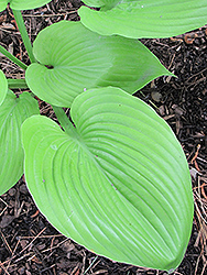 Sum and Substance Hosta (Hosta 'Sum and Substance') at Glasshouse Nursery
