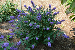 Lo And Behold® Blue Chip Dwarf Butterfly Bush (Buddleia 'Lo And Behold Blue Chip') at Glasshouse Nursery