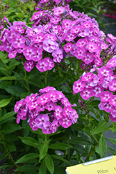 Laura Garden Phlox (Phlox paniculata 'Laura') at Glasshouse Nursery