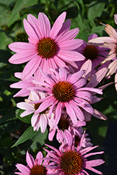 Prairie Splendor Coneflower (Echinacea purpurea 'Prairie Splendor') at Glasshouse Nursery