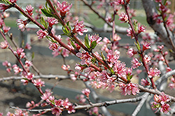 Redhaven Peach (Prunus persica 'Redhaven') at Glasshouse Nursery