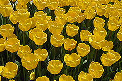 Golden Appeldoorn Tulip (Tulipa 'Golden Appeldoorn') at Glasshouse Nursery