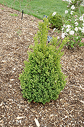 Green Mountain Boxwood (Buxus 'Green Mountain') at Glasshouse Nursery