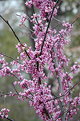 Forest Pansy Redbud (Cercis canadensis 'Forest Pansy') at Glasshouse Nursery
