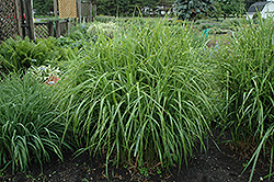 Porcupine Grass (Miscanthus sinensis 'Strictus') at Glasshouse Nursery