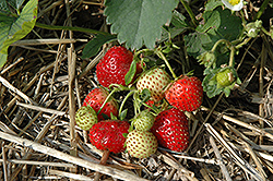 Everbearing Strawberry (Fragaria 'Everbearing') at Glasshouse Nursery