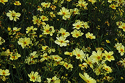 Full Moon Tickseed (Coreopsis 'Full Moon') at Glasshouse Nursery