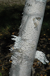Paper Birch (Betula papyrifera) at Glasshouse Nursery