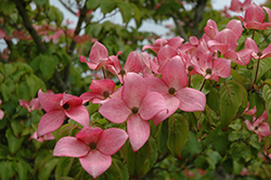 Red Flowering Dogwood (Cornus florida 'var. rubra') at Glasshouse Nursery