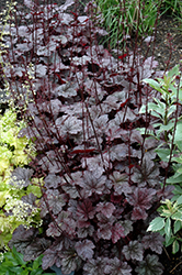 Plum Pudding Coral Bells (Heuchera 'Plum Pudding') at Glasshouse Nursery