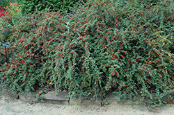 Cranberry Cotoneaster (Cotoneaster apiculatus) at Glasshouse Nursery