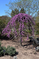 Lavender Twist Redbud (Cercis canadensis 'Covey') at Glasshouse Nursery