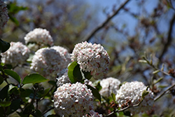 Fragrant Viburnum (Viburnum x carlcephalum) at Glasshouse Nursery