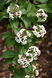 Fragrant Abelia (Abelia mosanensis) at Glasshouse Nursery