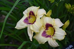 Pandora's Box Daylily (Hemerocallis 'Pandora's Box') at Glasshouse Nursery