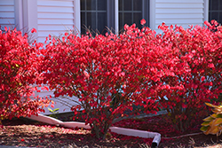 Chicago Fire Burning Bush (Euonymus alatus 'Chicago Fire') at Glasshouse Nursery